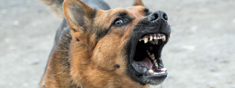 Fierce german shepard dog showing teeth and barking