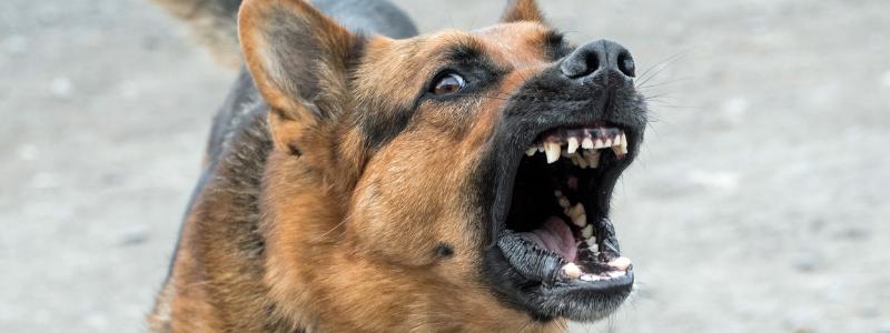 Fierce german shepard dog showing teeth and barking
